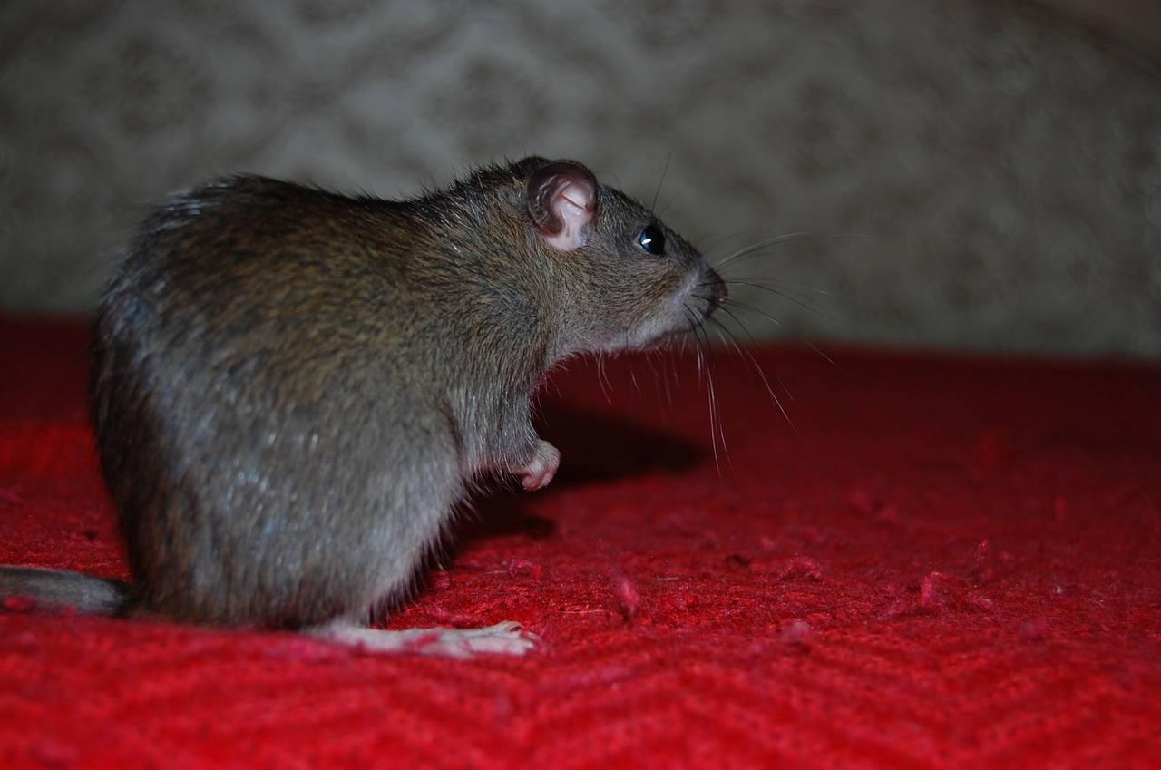 Продолжительность жизни крысы: у декоративных и диких грызунов