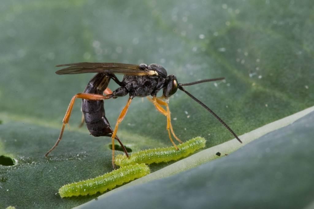 Оса-наездник – описание насекомого и его жизни