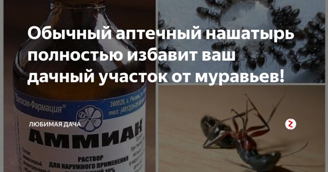 Нашатырный спирт от муравьев дома: как использовать