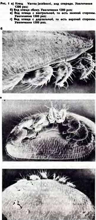 Варроатоз пчел: лечение народными средствами, профилактика