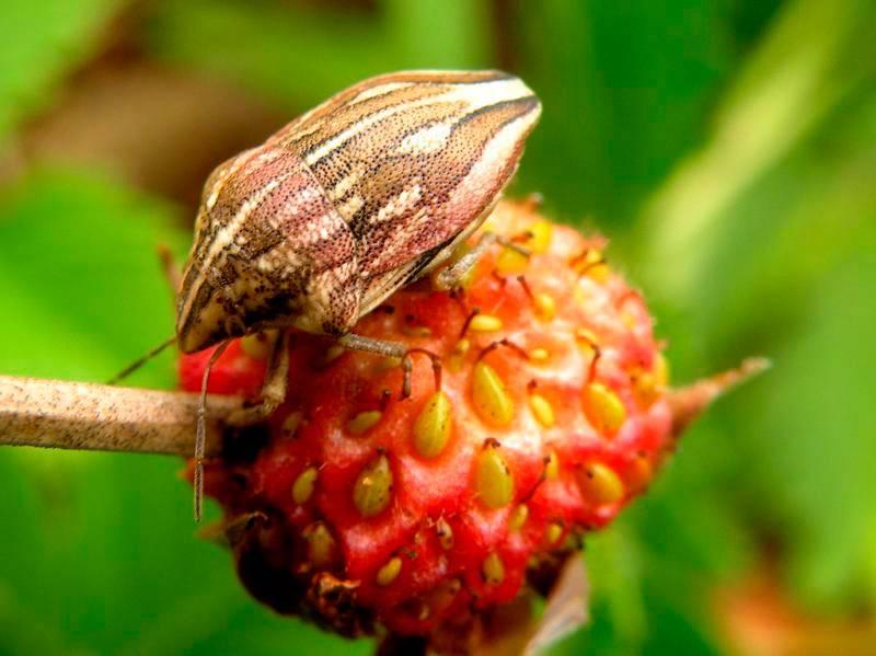 Жук вонючка: характеристика насекомого и методы борьбы
