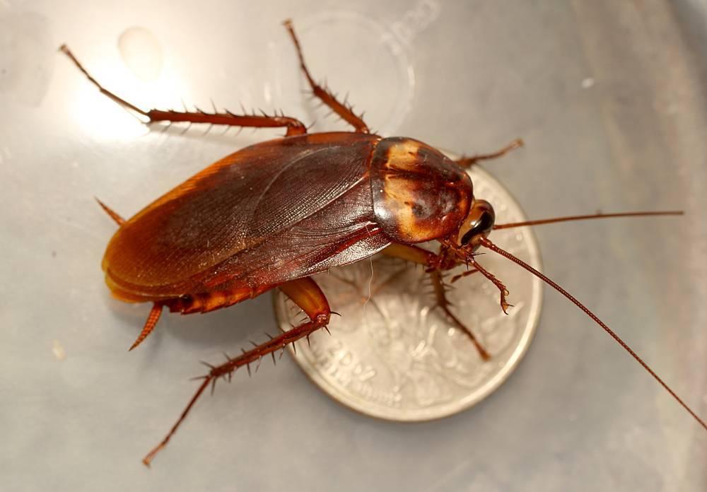 Какие бывают тараканы