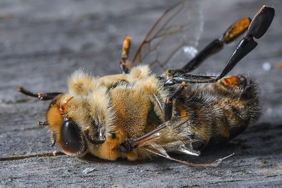 Почему вымирают пчелы и чем это грозит человечеству?