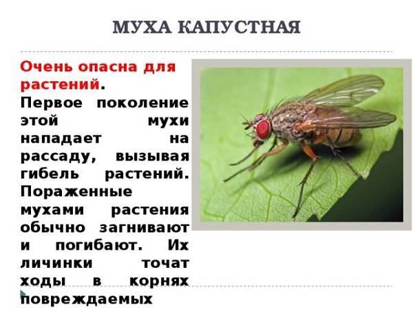 Капустная муха: виды, способы борьбы с ней