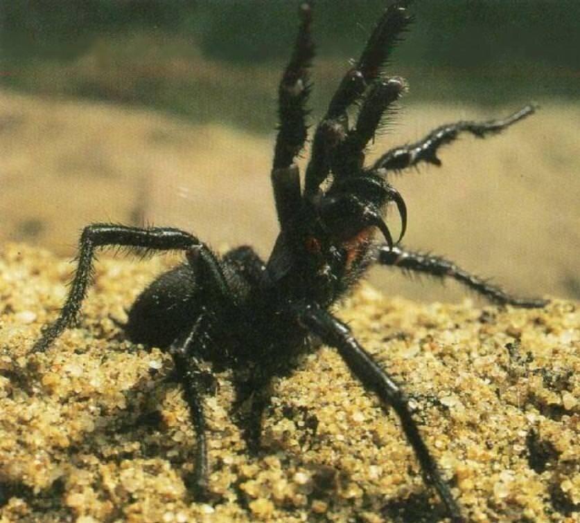 Самые ядовитые пауки в мире — среда распространения