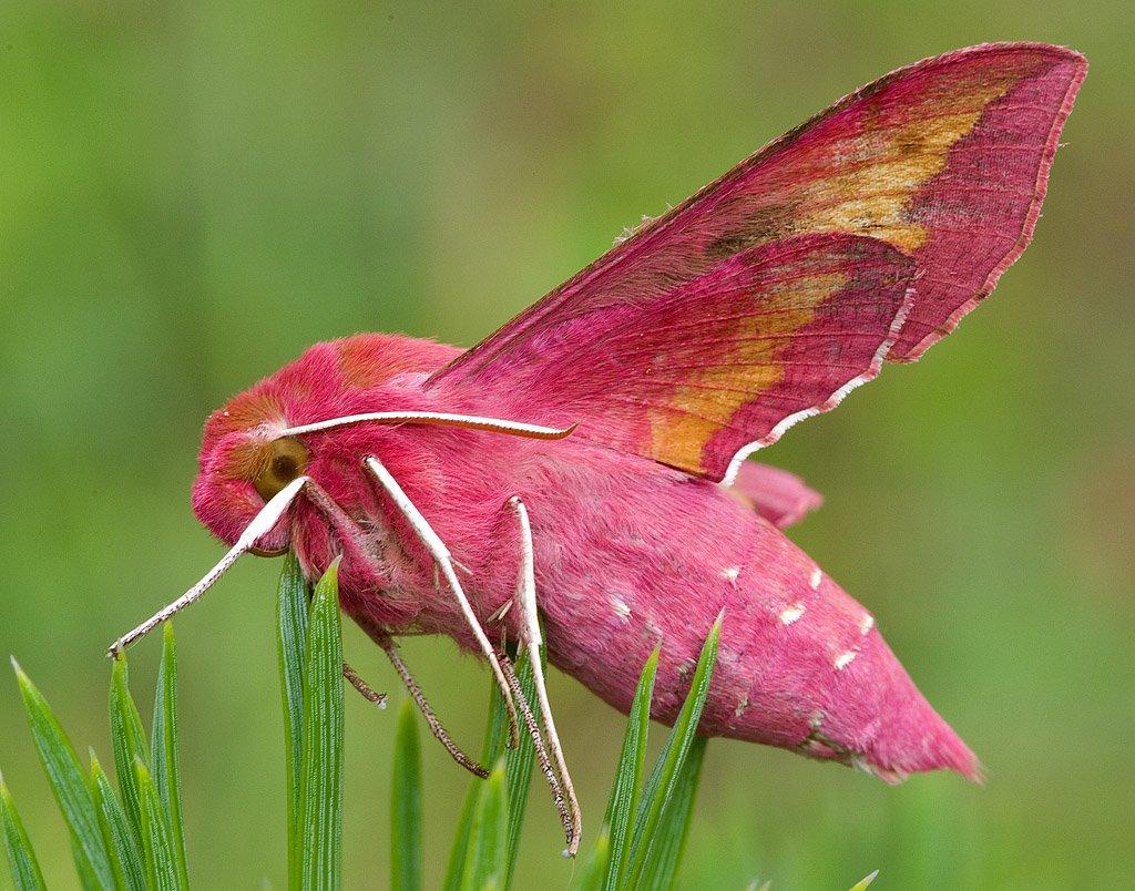Бражник тополевый – фото и образ жизни ночной бабочки и ее потомства