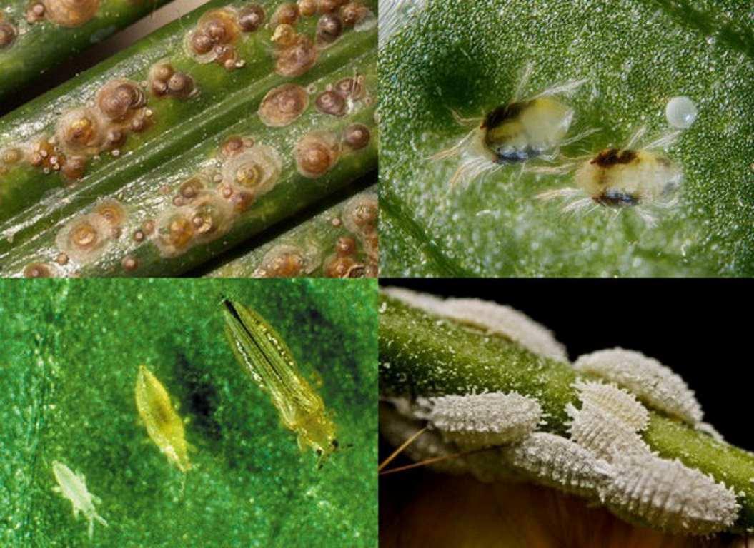 Как избавиться от мучнистого червеца на комнатных растениях