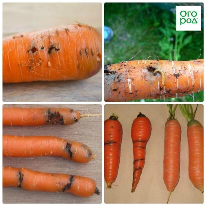 Морковная муха: как с ней бороться на грядке, как уберечь морковь народными средствами, внешний вид и фото вредителя русский фермер
