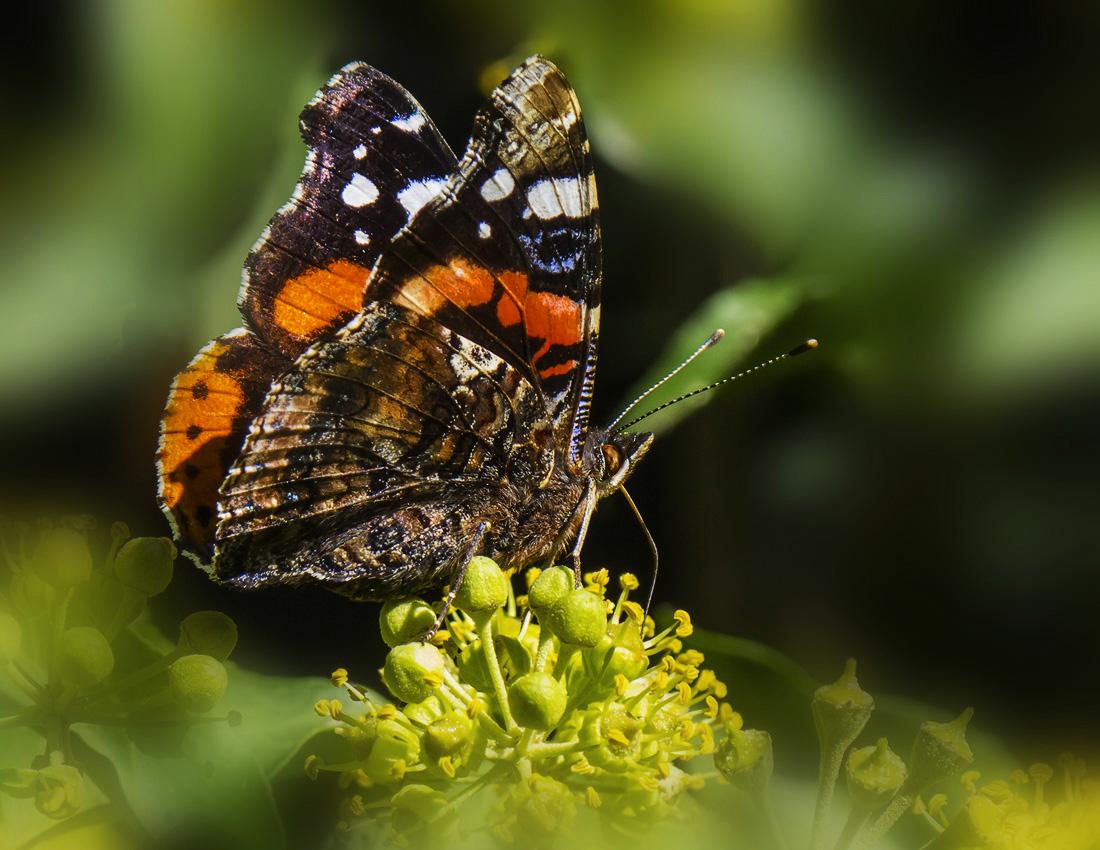 Бабочка адмирал — интересные факты о насекомом | vivareit