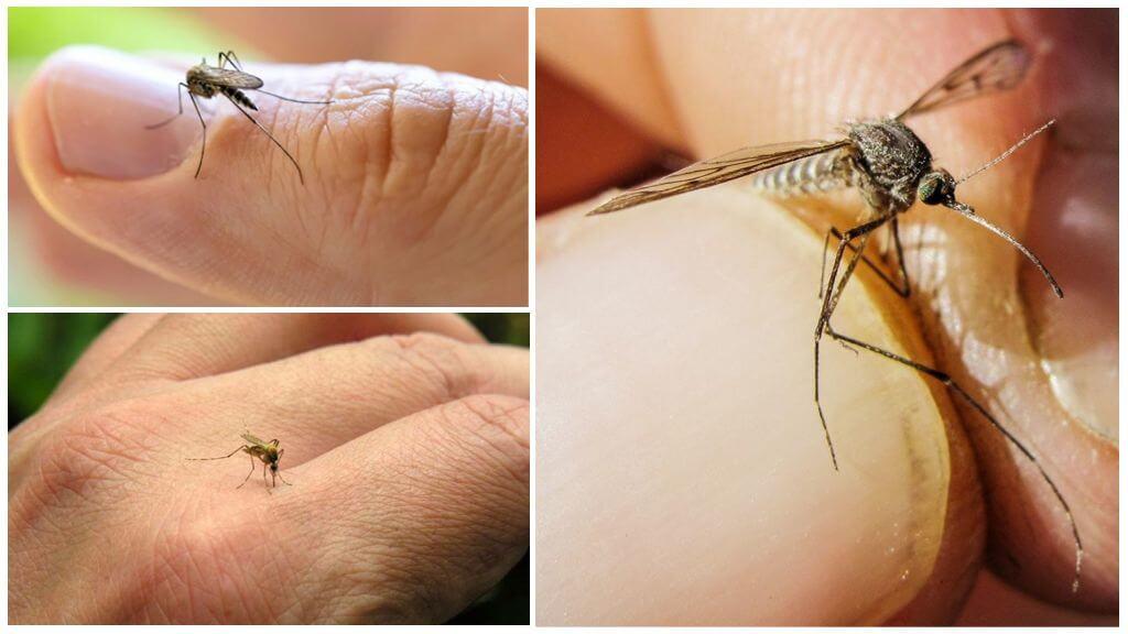 Чего боятся комары: обзор методов борьбы с помощью народных средств