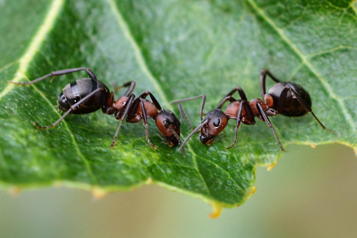 Как навсегда убрать муравьев с огорода - обзор лучших методов борьбы