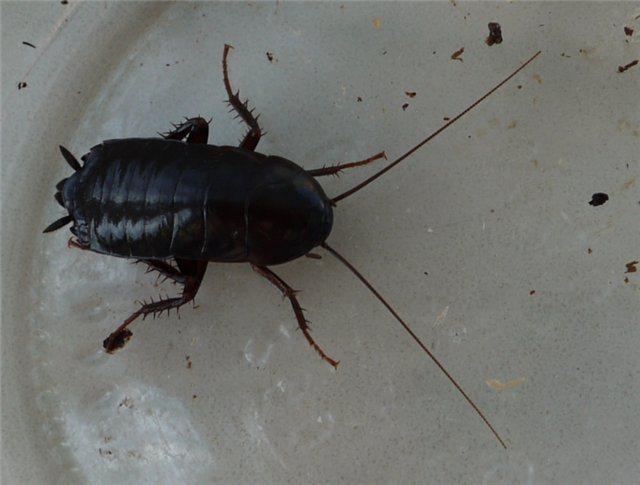 Черные тараканы в квартире: откуда берутся, фото, как от них избавиться раз и навсегда