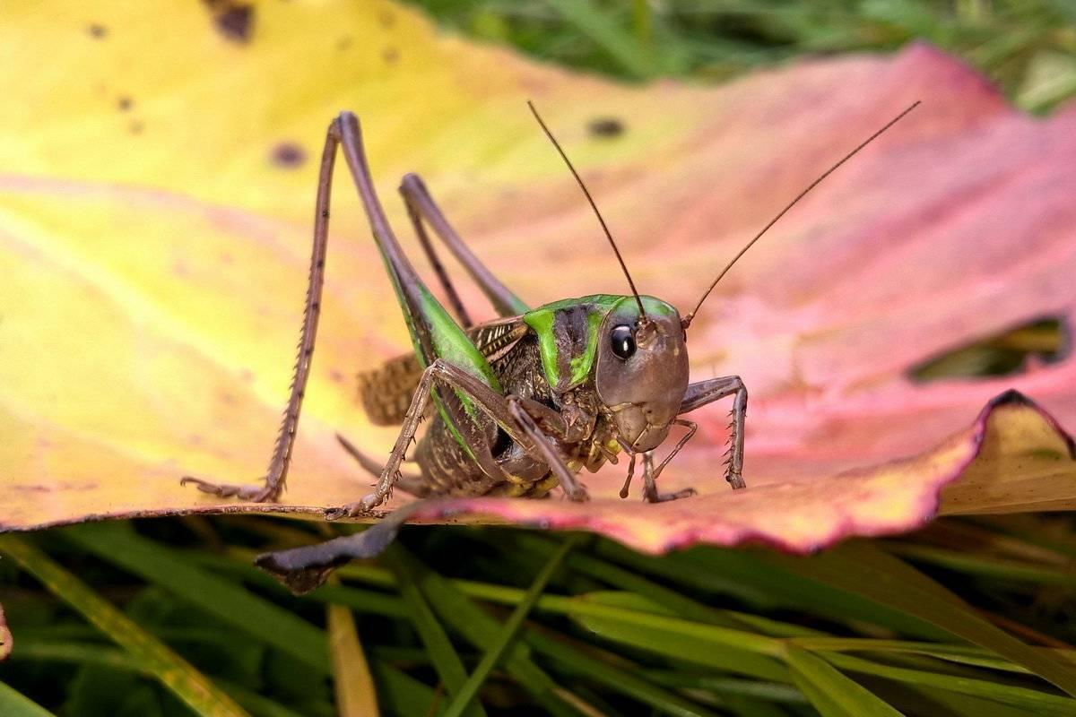 Сверчок насекомое. образ жизни и среда обитания сверчка | живность.ру