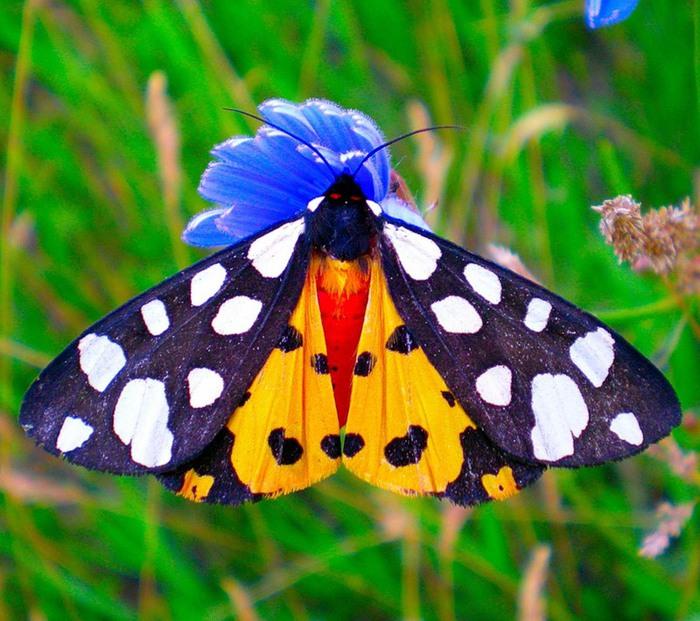 Описание и виды бабочки медведицы
