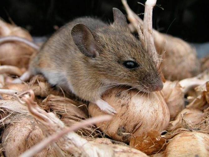 Мыши в квартире: откуда и что делать