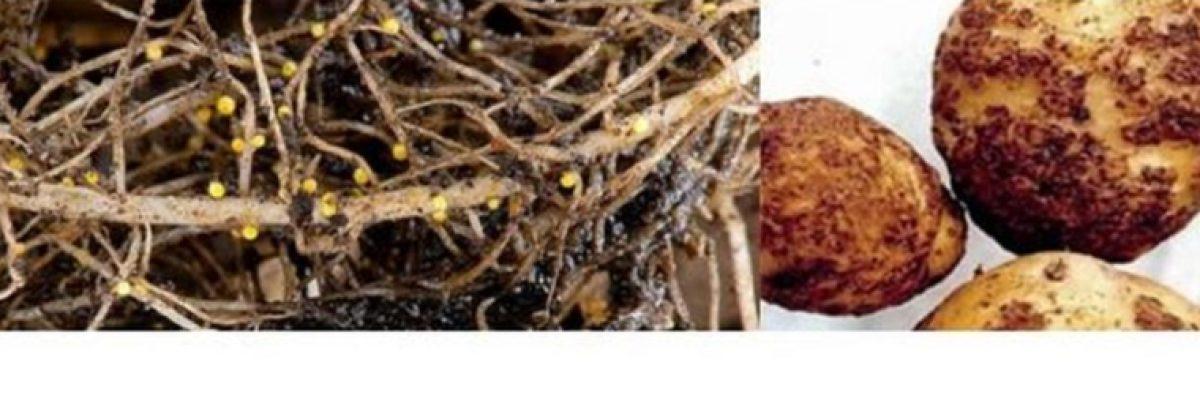 Стеблевая нематода картофеля: виды, способы борьбы и профилактики