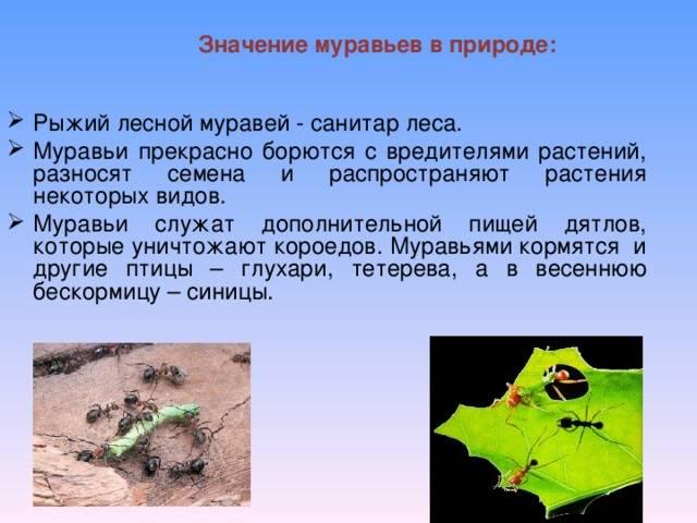 Польза муравьев для леса, огорода, животных и человека