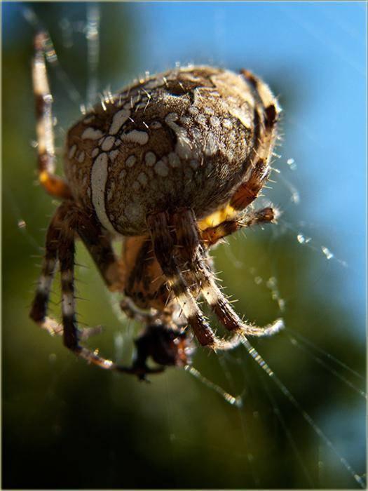 Приметы про паука-крестовика - в квартире и за окном