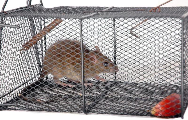 Как сделать ловушку для крыс своими руками?