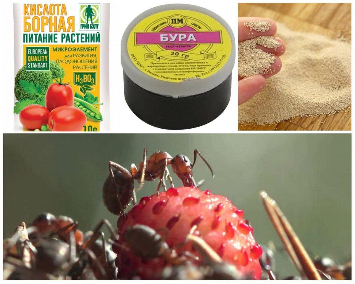 Что делать, если муравьи едят клубнику, как с ними бороться