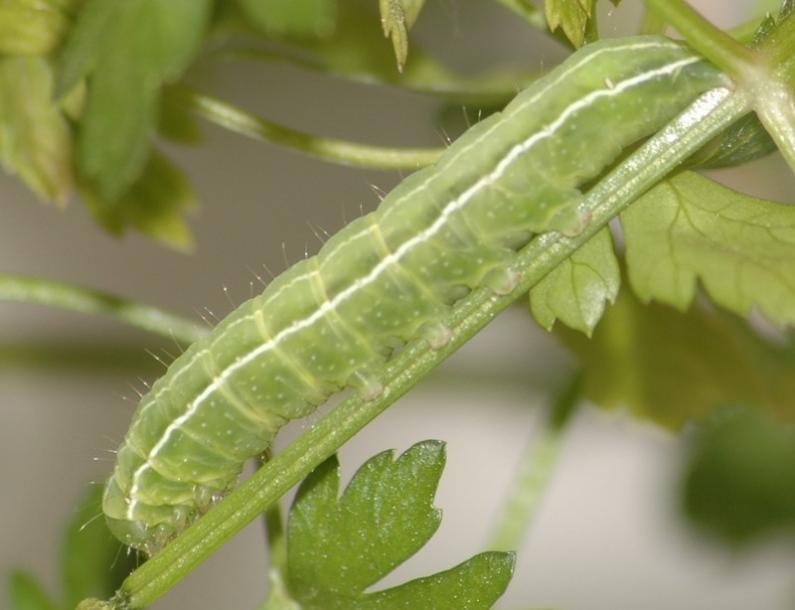 Гусеница огородной совки на помидорах, меры борьбы подручными средствами