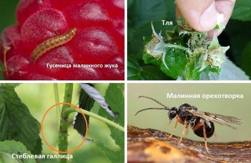 Малиновая муха – фото, вред, последствия, как бороться