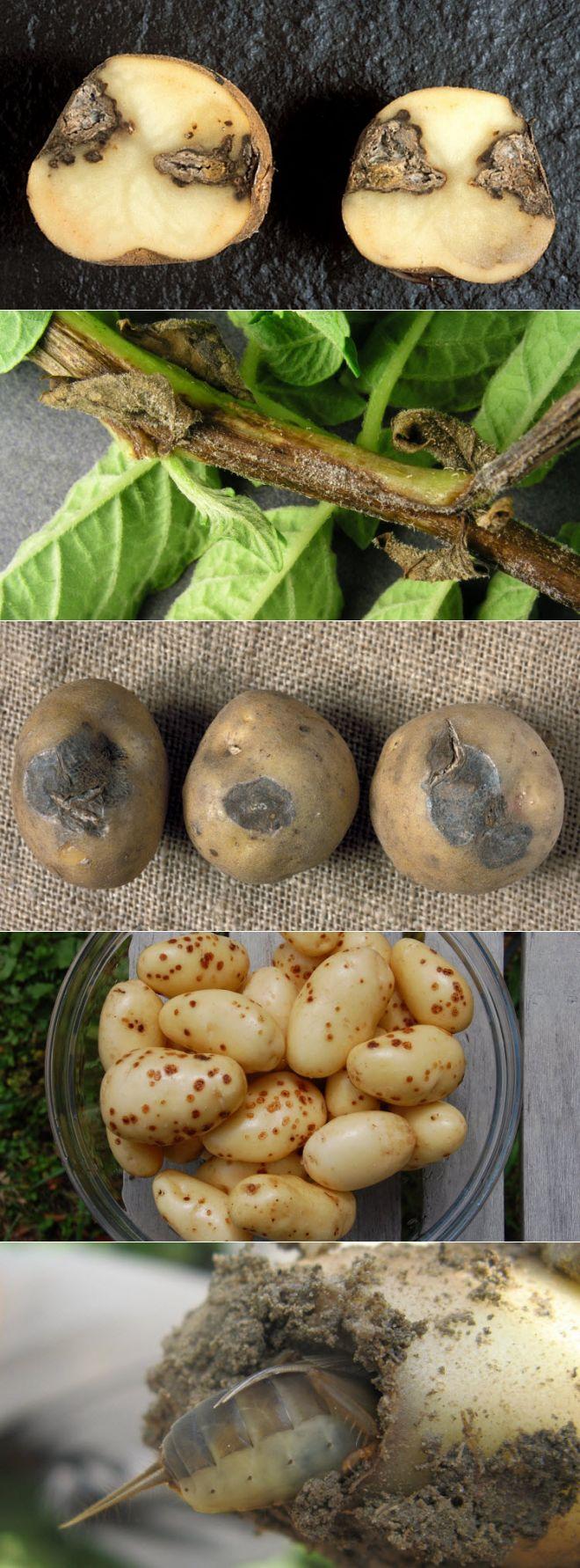 Болезни и вредители картофеля: признаки и способы защиты