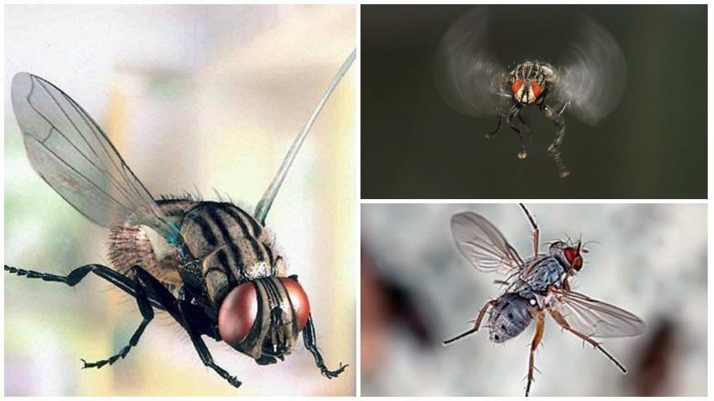 Сколько глаз у обыкновенной мухи. сколько кадров в секунду видит муха, сколько у неё глаз