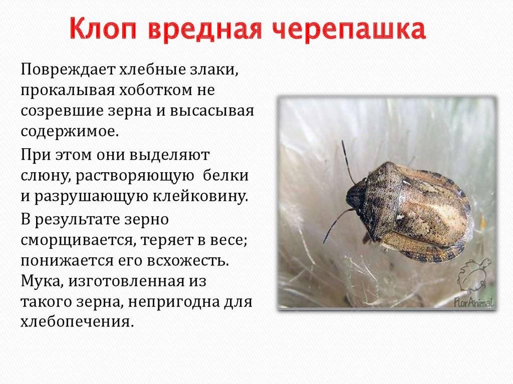 Описание клопа вредной черепашки: его среда обитания, развитие, способы борьбы