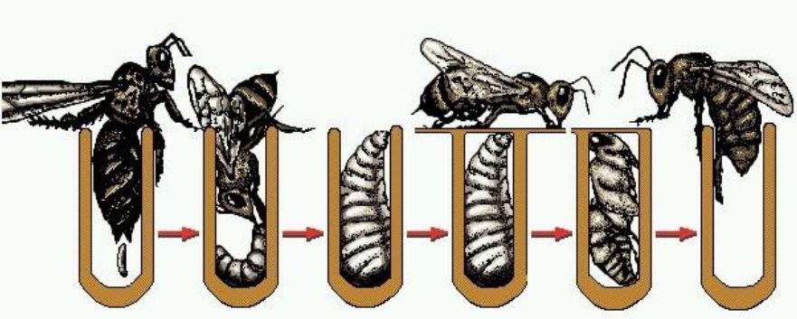 Матка шершня: как выглядит, ее размеры и особенности жизни