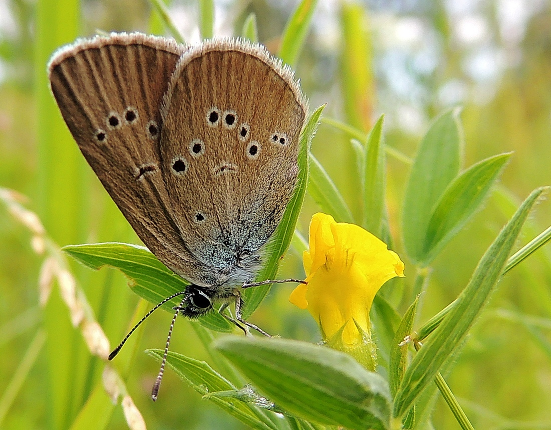 Бабочка голубянка - описание, среда обитания, виды