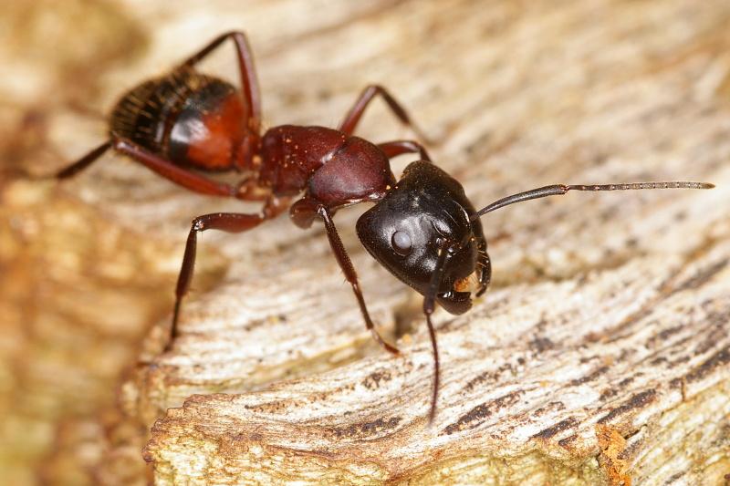Большие муравьи как называются