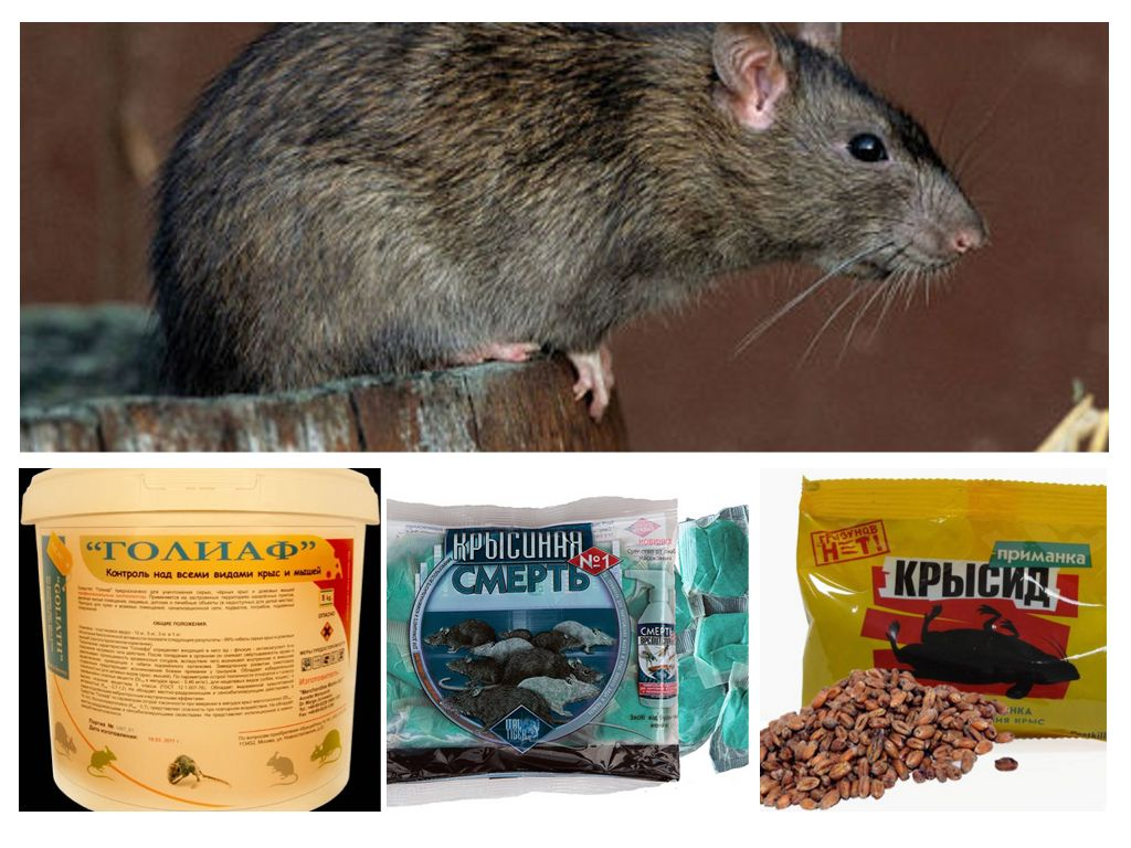 3 способа, как избавиться от крыс в частном доме народными средствами