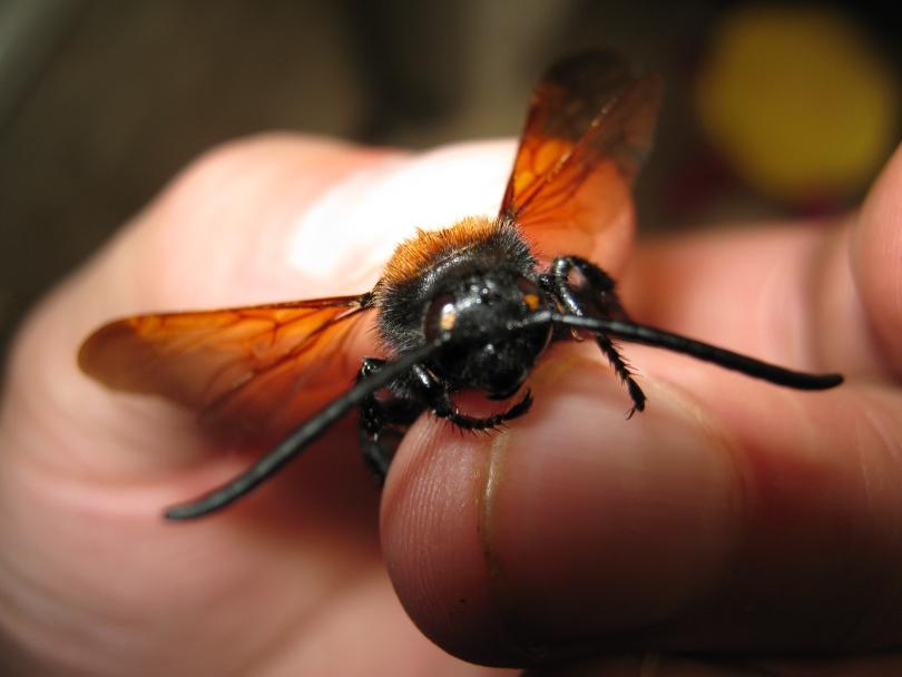 Шершень обыкновенный – возможно ли мирное сосуществование человека и насекомого?