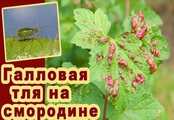 Тля на смородине: профилактика и методы борьбы с вредителями