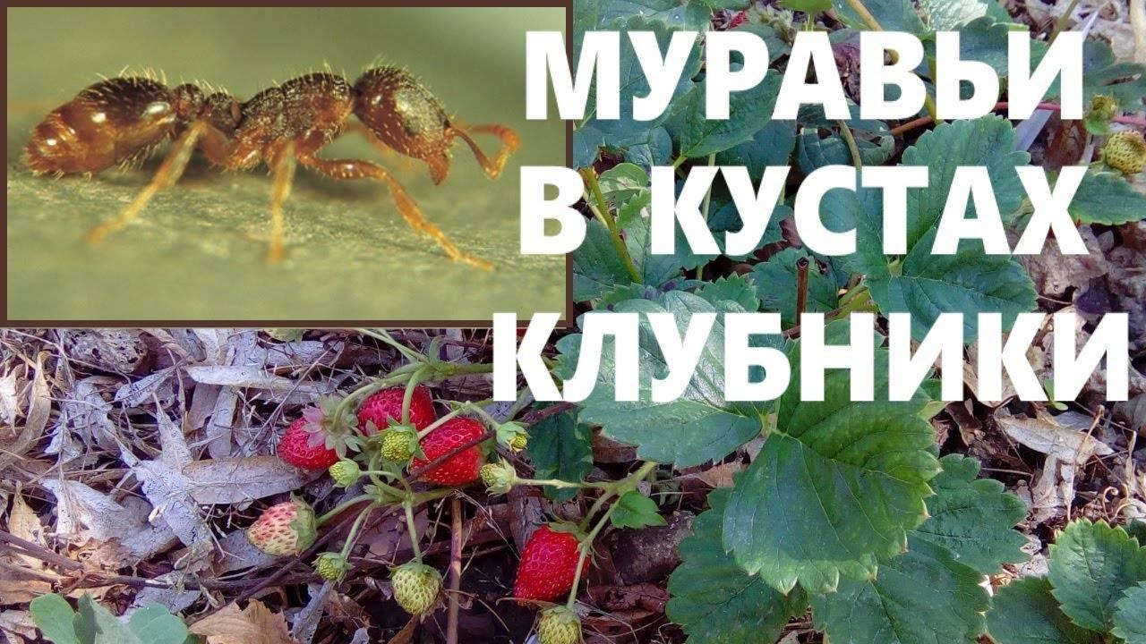 Муравьи едят клубнику: что делать