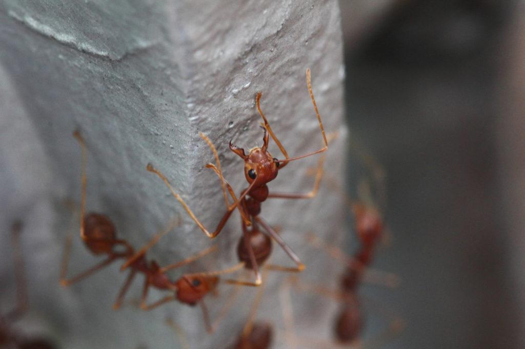 Огненные муравьи в техасе. можно ли их победить?