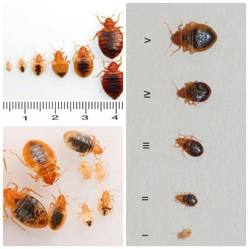 Как выглядят личинки постельного клопа. внешний вид личинок домашних клопов.