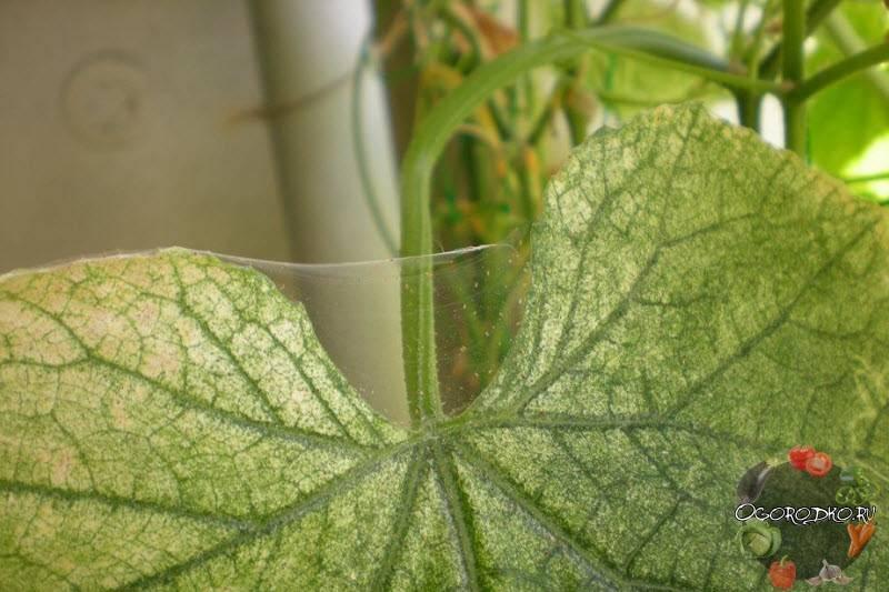 Паутинный клещ на огурцах в теплице: чем обработать