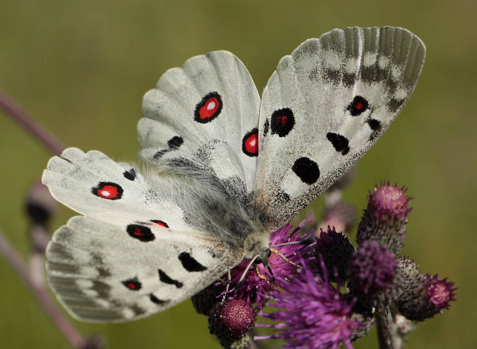 Подробное описание (характеристика и фото) бабочки аполлона