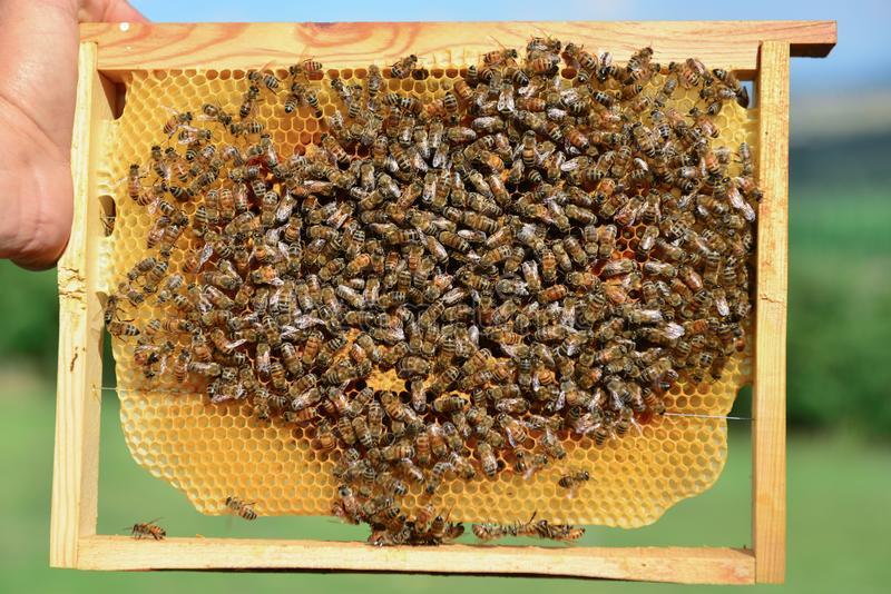 Бывает ли осиный мед: вся правда о жалящих насекомых