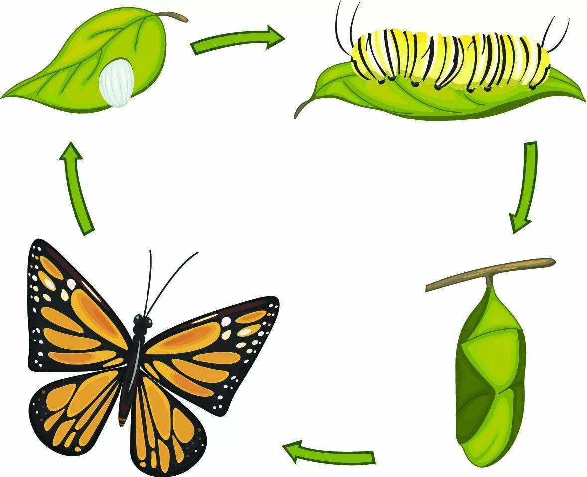 Гусеница - это личинка бабочки, стадии ее развития и особенности питания