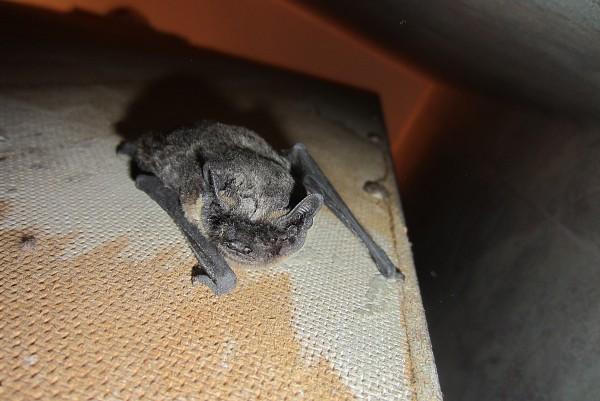Как правильно прогонять летучих мышей на даче и в квартире