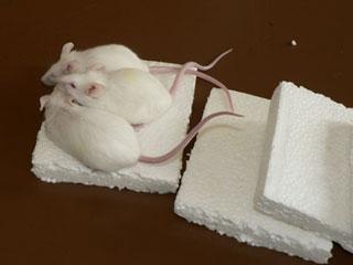 Экструдированный пенополистирол и грызут ли мыши крысы