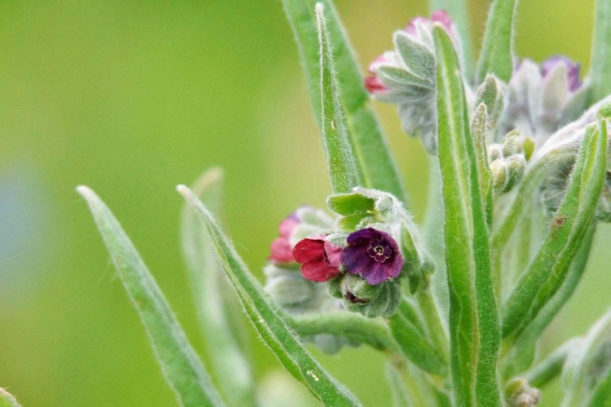 Как выращивать чернокорень лекарственный от мышей + фото