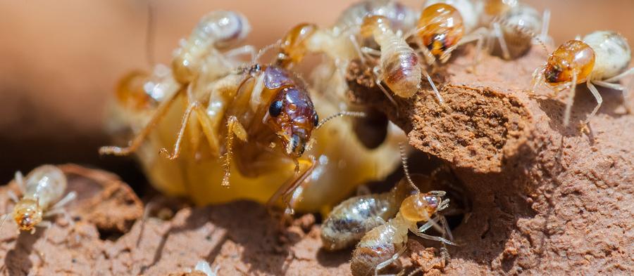Термиты - первые социальные насекомые.