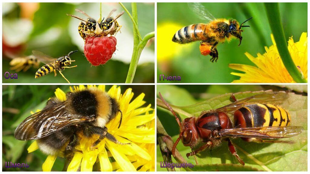 Чем отличаются пчелы, осы, шмели и шершни: по внешнему виду, признакам