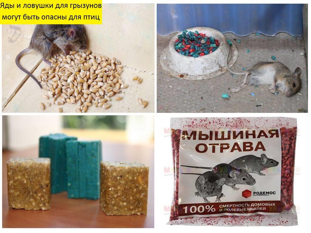 Как избавиться от крыс: профилактические меры. механические, химических и народные средства от крыс