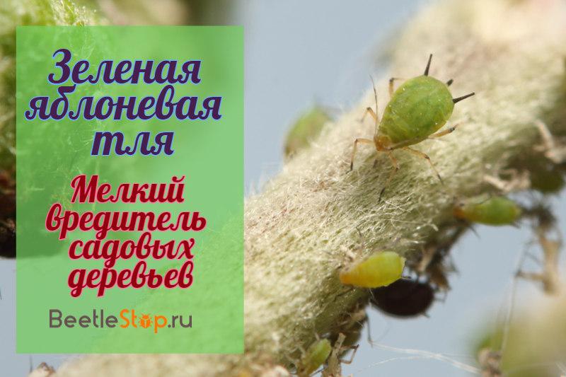 Зеленая яблоневая тля— опасный вредитель сада