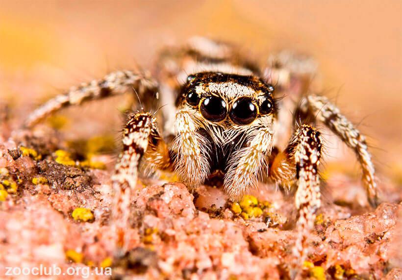 Аргиопа паук. описание, особенности, виды, образ жизни и среда обитания аргиопы | живность.ру